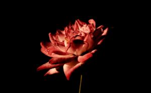 Kytka na černém pozadí červená