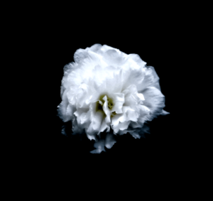 Kytka na černém pozadí bílá